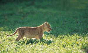 在野外散步的猎豹幼崽摄影高清图片