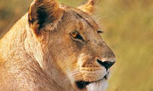 回望的母狮子近景特写摄影高清图片