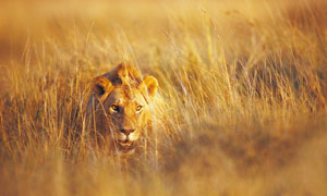 埋伏在乱草丛里的狮子摄影高清图片