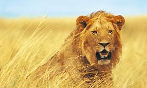 非洲草原上的猫科动物摄影高清图片