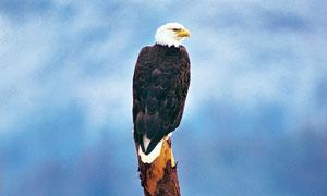 站在木头上的老鹰特写摄影高清图片