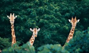 只露出脑袋与脖子的鹿摄影高清图片
