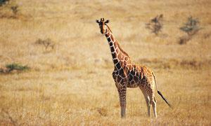草原上一只长颈鹿特写摄影高清图片