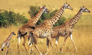草原成群结队的长颈鹿摄影高清图片
