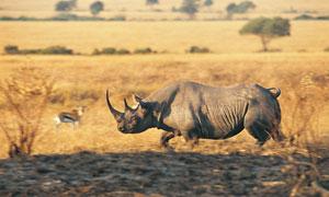 草原上奔跑的刚猛犀牛摄影高清图片