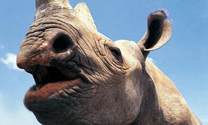 草原上凶猛的犀牛特写摄影高清图片