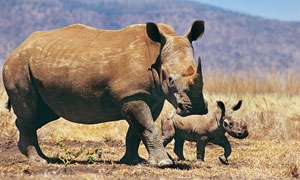 在草原上散步的俩犀牛摄影高清图片