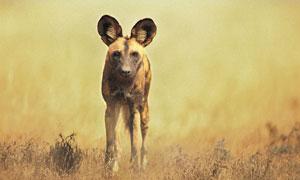 草原上站着的一只鬣狗摄影高清图片