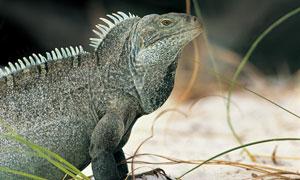 一只蜥蜴侧面近景特写摄影高清图片