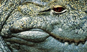 凶猛鳄鱼头部近景特写摄影高清图片