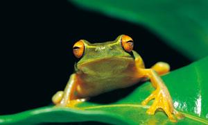 在绿叶上的一只小青蛙摄影高清图片