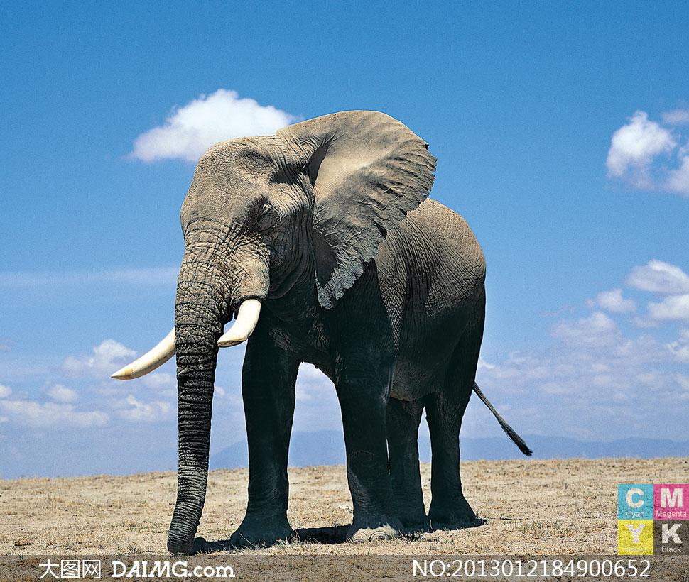 关键词: 高清摄影大图图片素材生物动物近景特写天空蓝天白云大象