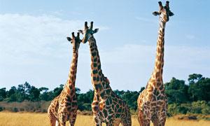 站草地上的三只长颈鹿摄影高清图片