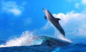 蓝天白云大海海豚近景摄影高清图片