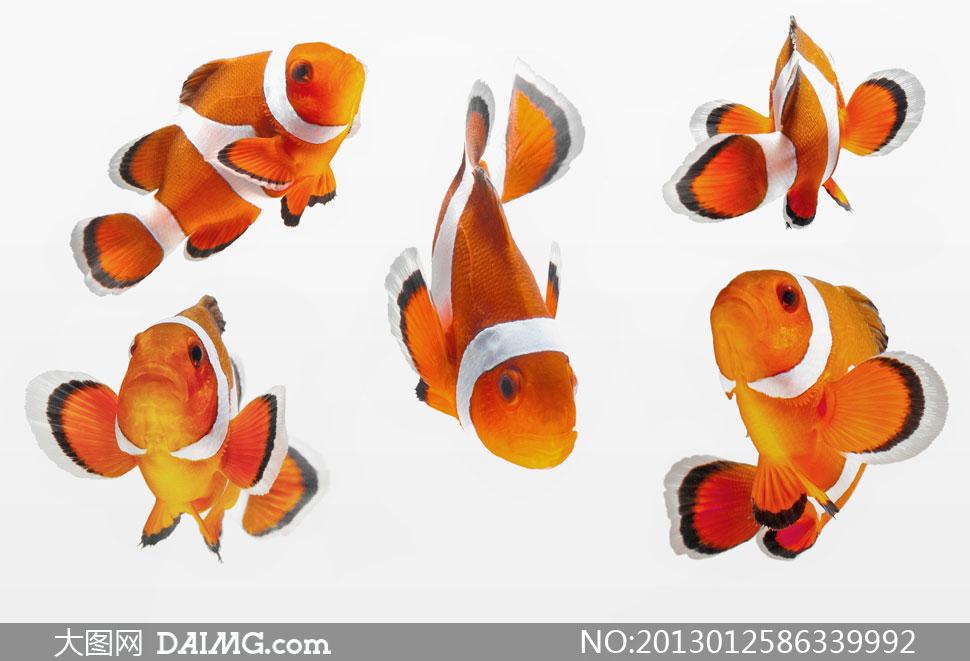 五只游动可爱的小丑鱼摄影高清图片