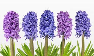 五朵丁香花朵近景特写摄影高清图片