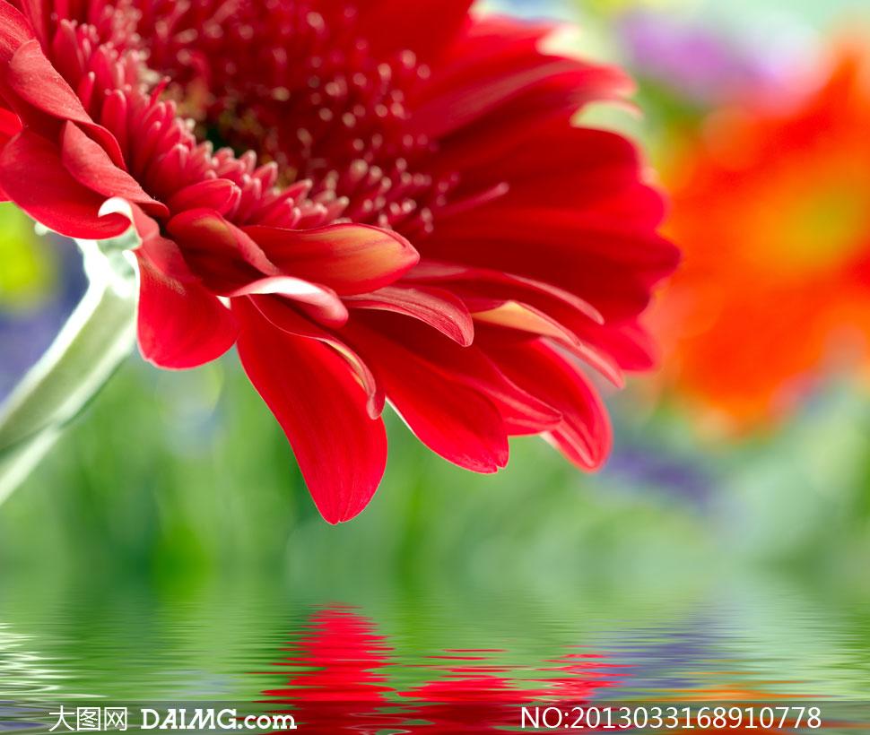 红色鲜艳雏菊近景特写摄影高清图片