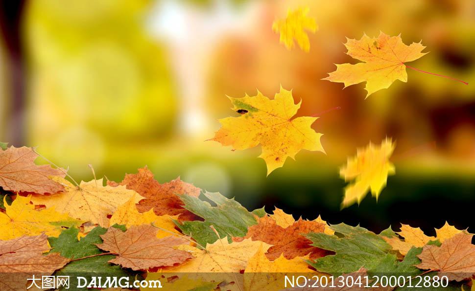 素材下载 关键词: 枫叶红叶落叶美景景色风景景观美丽漂亮景深唯美图片