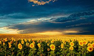 天空下的向日葵种植园摄影图片