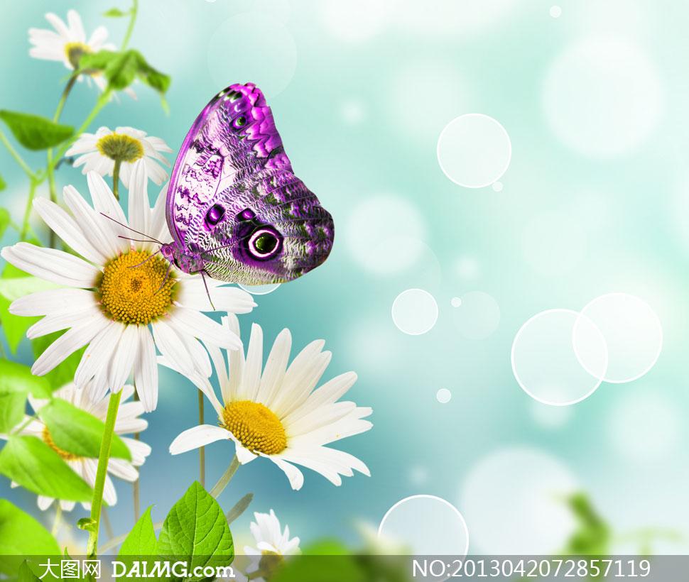 紫色蝴蝶白色雏菊花卉摄影高清图片