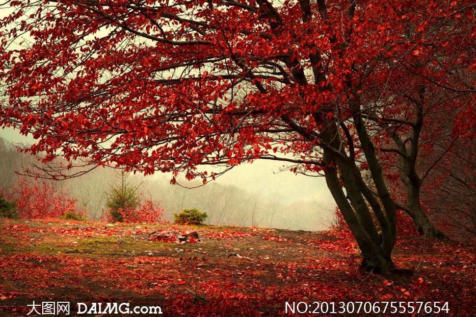 树叶凋零的红叶树风景摄影高清图片