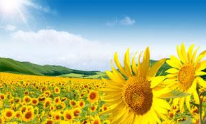 阳光下的向日葵种植园PSD源文件