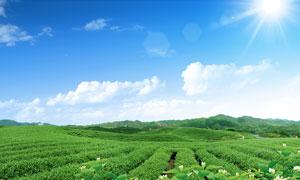 阳光下的绿色茶园PSD分层素材