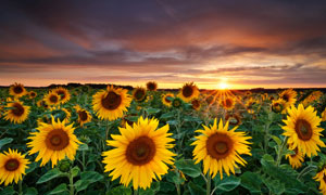 阳光下向日葵种植园摄影图片