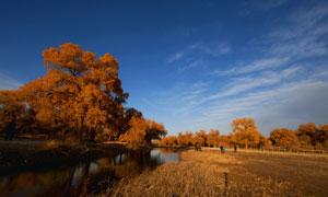 内蒙古秋季胡杨树木摄影图片
