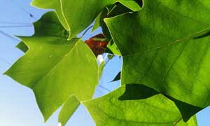 绿色树叶清新通透色彩调色动作