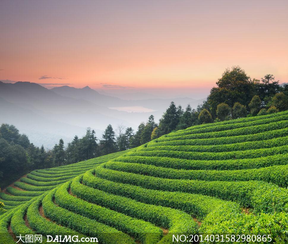 大图首页 高清图片 自然风景 > 素材信息          葱绿色的茶园与图片