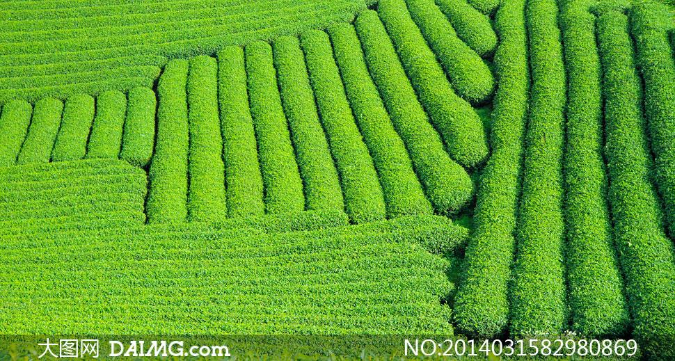 高清摄影大图图片素材自然风景风光景观植物绿茶绿色春茶茶树茶叶