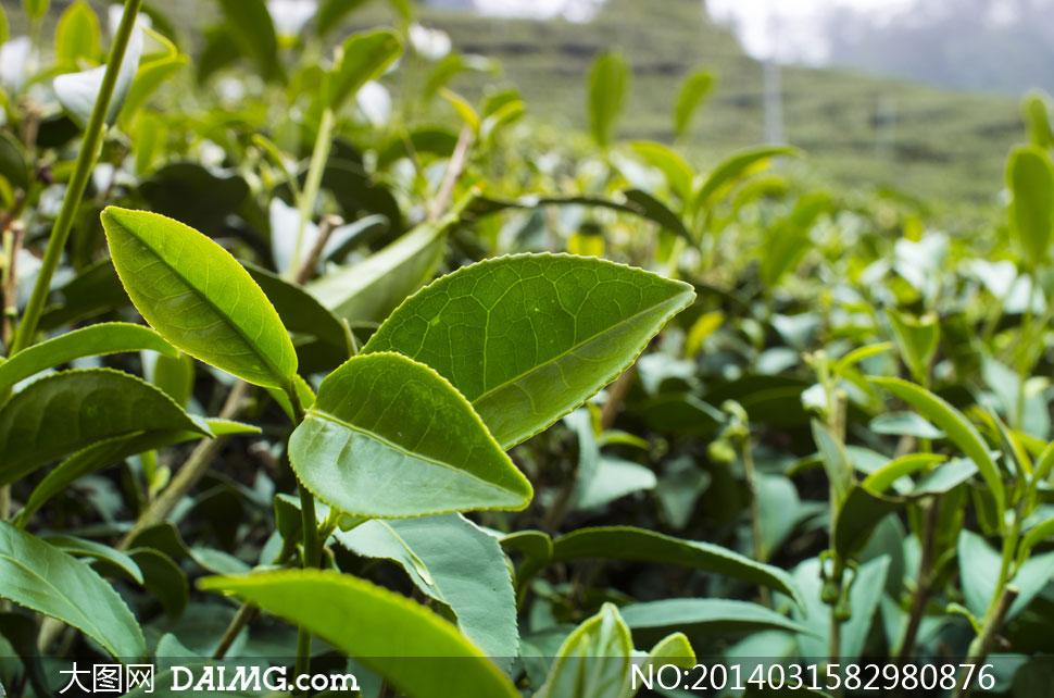 绿油油的茶叶近景特写摄影高清图片