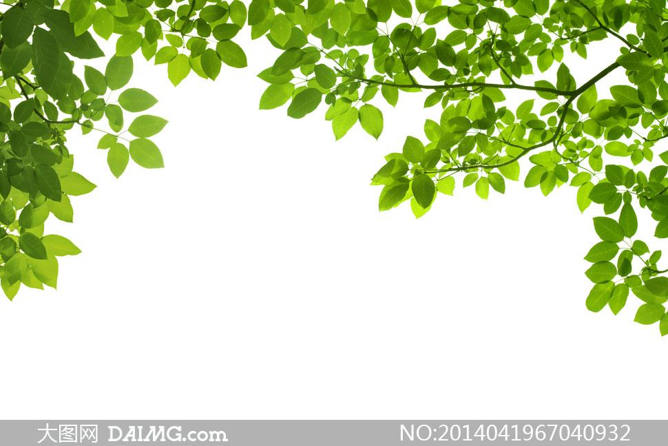 树枝上的绿叶树叶近景摄影高清图片