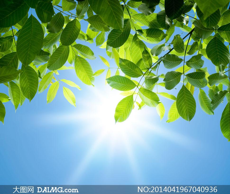 蓝天太阳光与绿色树叶摄影高清图片