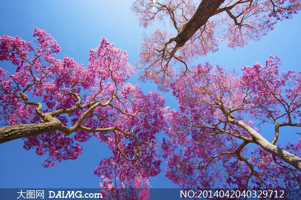 春天鲜花盛开的树仰拍摄影高清图片