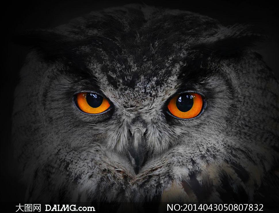 睁着圆眼的猫头鹰特写摄影高清图片