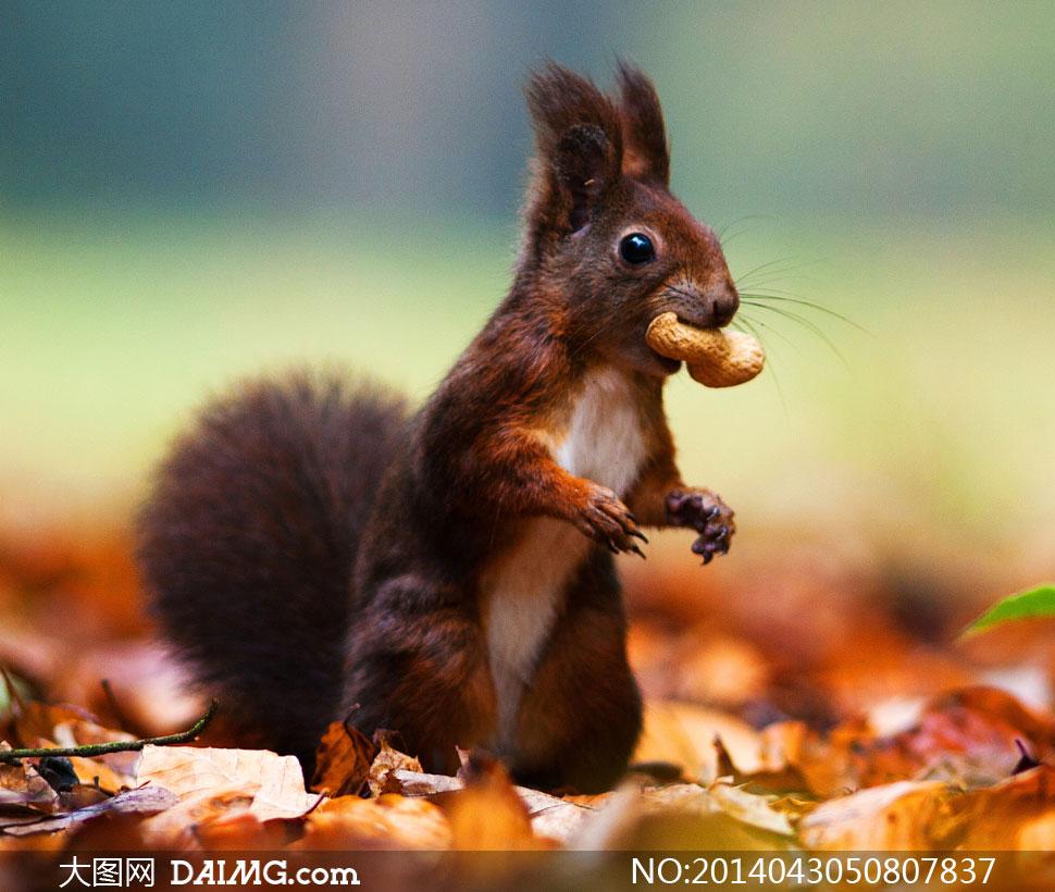 叼着一颗花生的小松鼠摄影高清图片