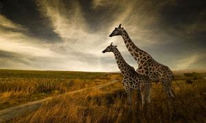 荒草丛中站着的长颈鹿摄影高清图片