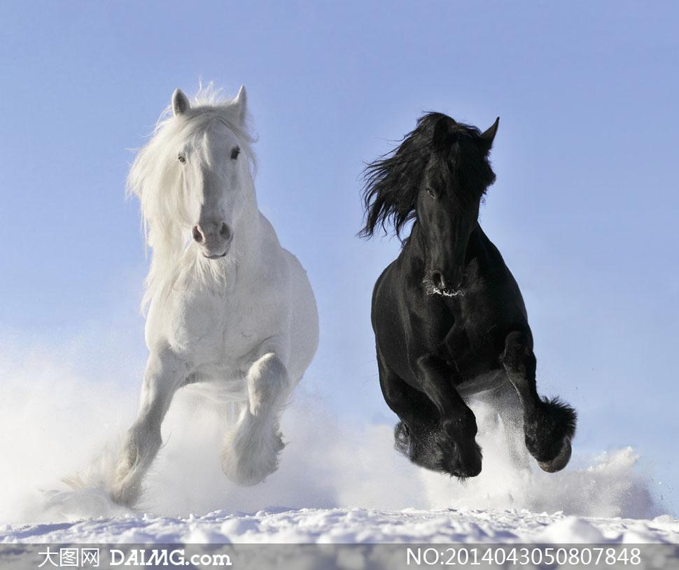 驰骋在雪地里的两匹马摄影高清图片