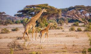 草原上行走的俩长颈鹿摄影高清图片
