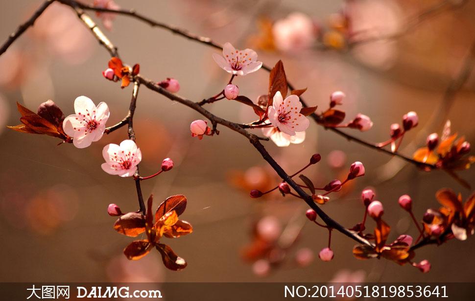 樱花树上的花微距特写摄影高清图片