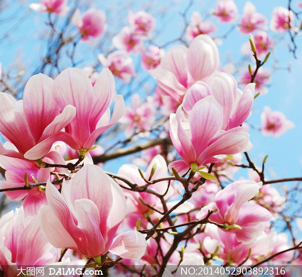 粉红色木兰花树枝特写摄影高清图片