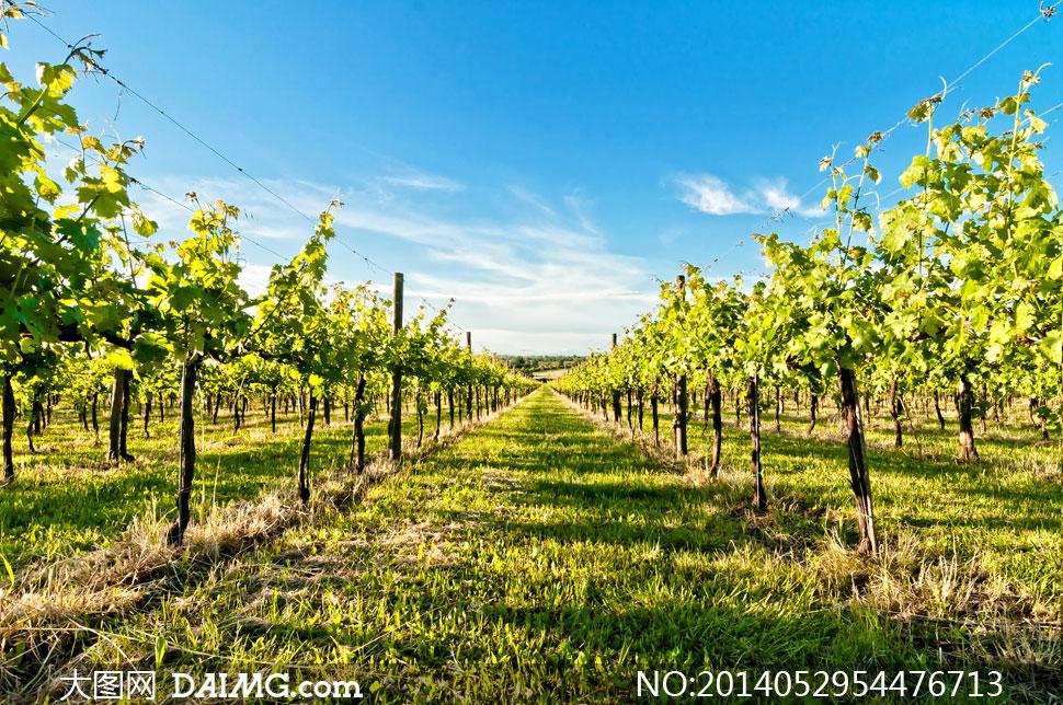 满是葡萄架子的葡萄园摄影高清图片