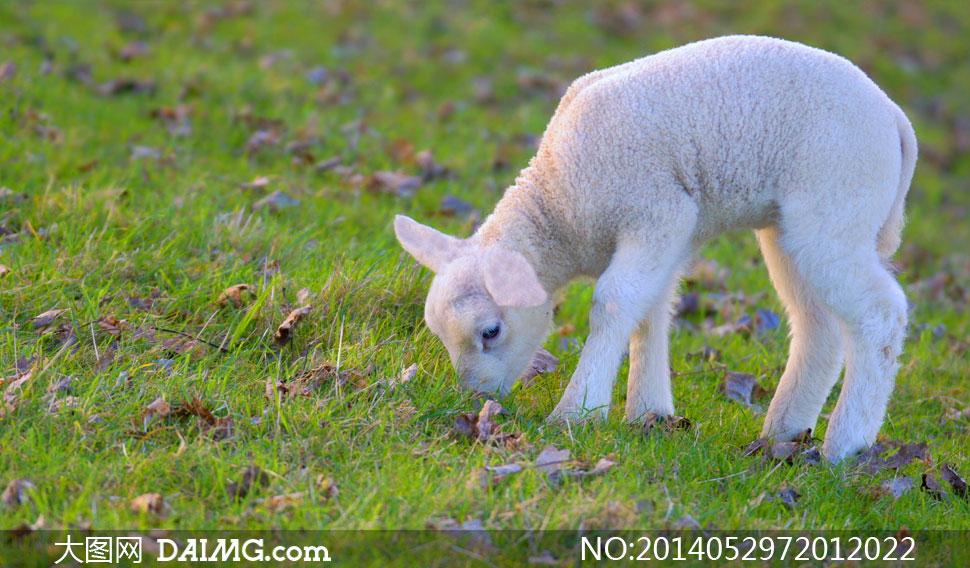 关键词: 高清摄影大图图片素材风景风光自然草地青草落叶枯叶动物绵羊