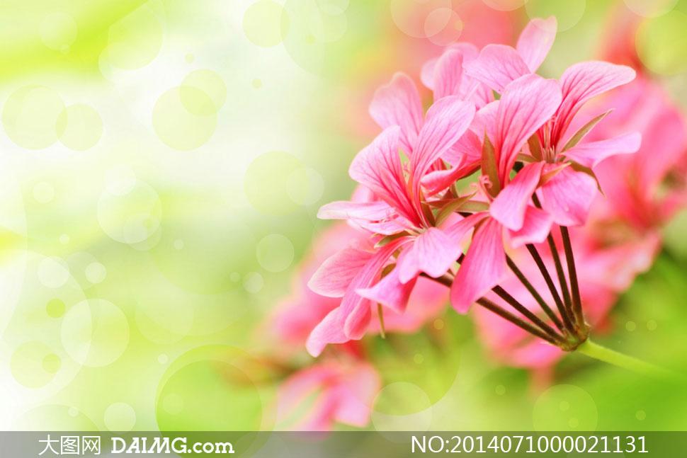 唯美的粉色花朵摄影图片