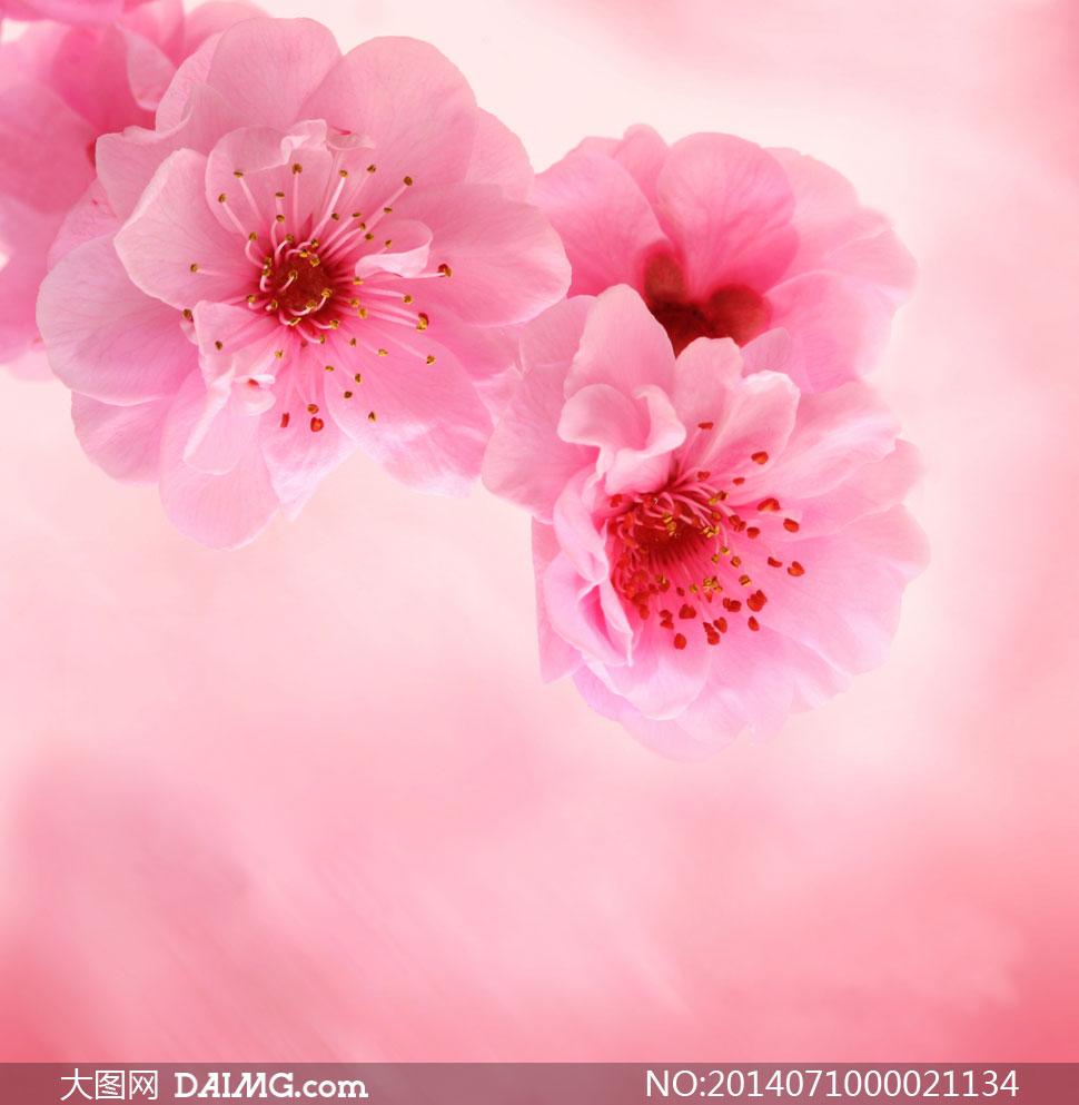 素材下载 关键词: 桃花花朵花卉粉色粉红色花蕊唯美梦幻近景特写微距