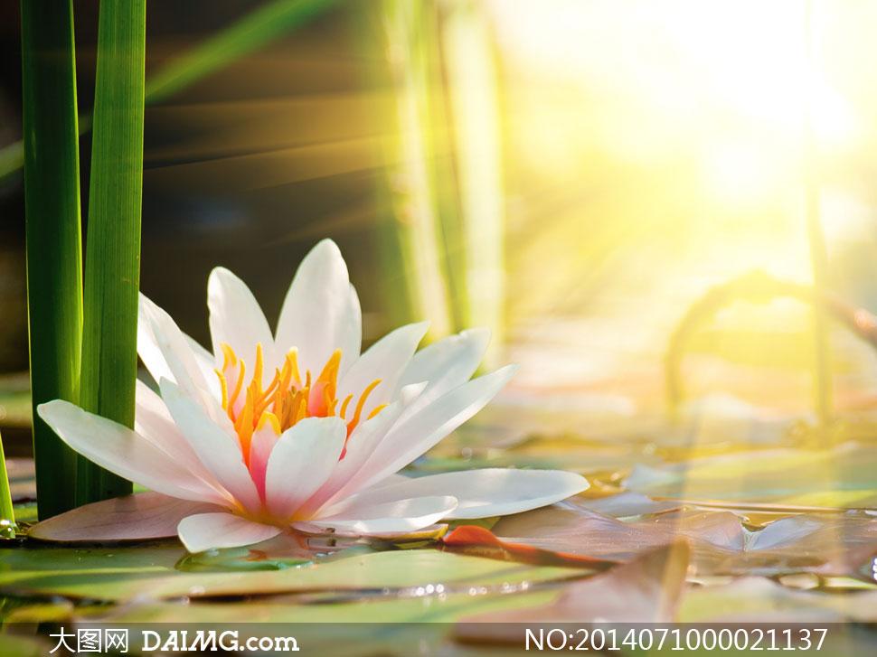阳光下的美丽莲花摄影图片