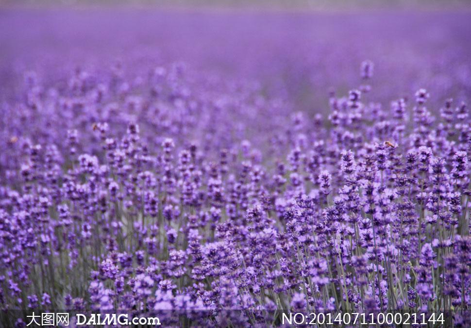淘宝上传图片不清晰_唯美的紫色薰衣草花园摄影图片_大图网图片素材