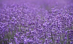 唯美的紫色薰衣草花园摄影图片